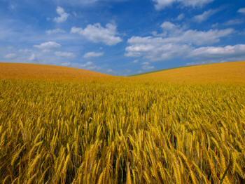 barley-field2