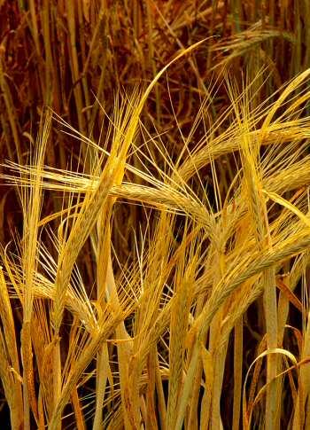 -barley